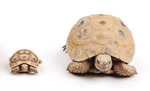 Daddy Daughter turtles